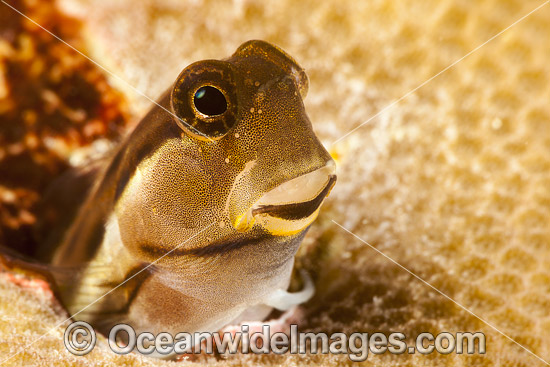 Combtooth Blenny in a hole photo