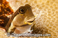 Combtooth Blenny in a hole Photo - David Fleetham