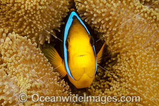 Orange-fin Anemonefish (Amphiprion chrysopterus). Found throughout the West-Pacific, including the far northern Great Barrier Reef Australia, New Guinea, Solomon Islands and Fiji. Photo - David Fleetham
