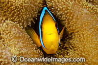 Orange-fin Anemonefish Photo - David Fleetham