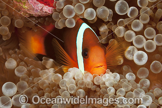 Tomato Anemonefish (Amphiprion frenatus), pair in a Sea Anemone. Also known as Bridled Anemonefish. Found throughout South-East Asia, western Pacific to Japan. Photo taken in Yap in Micronesia. Photo - David Fleetham