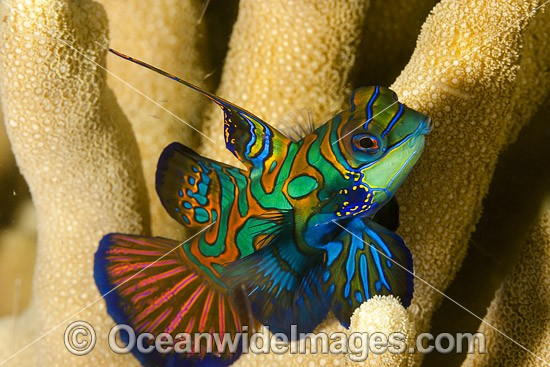 Mandarin-fish (Pterosynchiropus splendidus), male. Found throughout West Pacific. Photo taken off Yap, Micronesia.