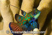 Mandarin-fish photo