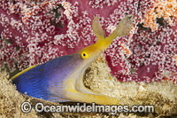 Blue Ribbon Eel photo