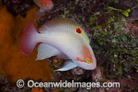 Pink Basslet Pseudanthias hypselosoma Photo - David Fleetham