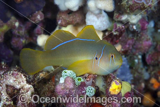 Citron Goby (Gobiodon citrinus). Also known as Citrin or Clown Goby. Photo was taken at the Fijian Islands.