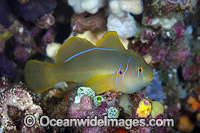Citron Goby image