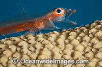 Whip Coral Goby photo