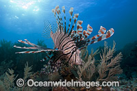 Lionfish Pterois volitans Photo - David Fleetham