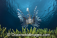 Lionfish and coral Photo - David Fleetham