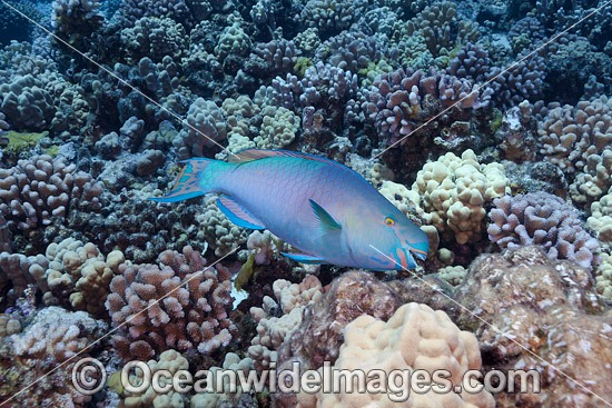 Ember Parrotfish (Scarus rubroviolaceus) - male, scraping a meal of algae off the coral. Photo taken off Hawaii, USA.