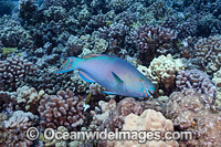 Ember Parrotfish Photo - David Fleetham