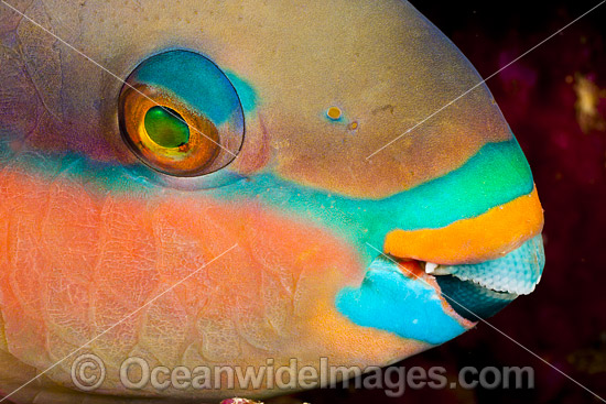 Black-veined Parrotfish (Scarus rubroviolaceus) - male. Photo was taken at the Philippines.