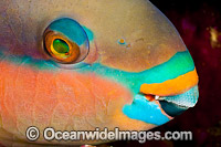 Black-veined Parrotfish Photo - David Fleetham