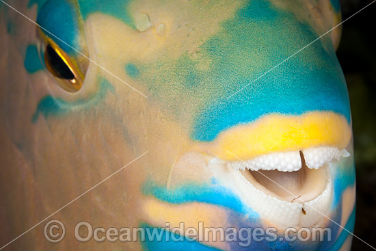 Detail of the dental plates of a Three-color Parrotfish (Scarus tricolor). Photo was taken at the Fijian Islands. Photo - David Fleetham