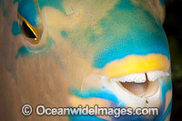 Three-color Parrotfish Photo - David Fleetham