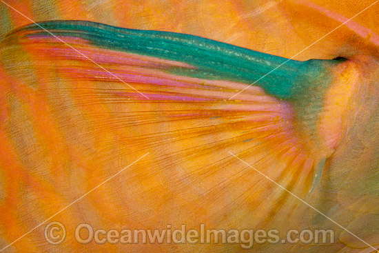 Detail of the pectoral fin of a Three-color Parrotfish (Scarus tricolor). Photo was taken at the Fijian Islands.