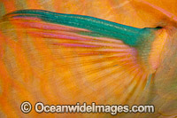 Parrotfish pectoral fin Photo - David Fleetham