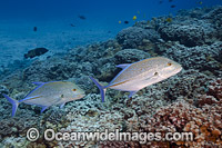 Blue-fin Trevally photo