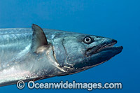 Dogtooth Tuna Photo - David Fleetham