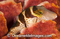 Saddled Pufferfish Photo - David Fleetham