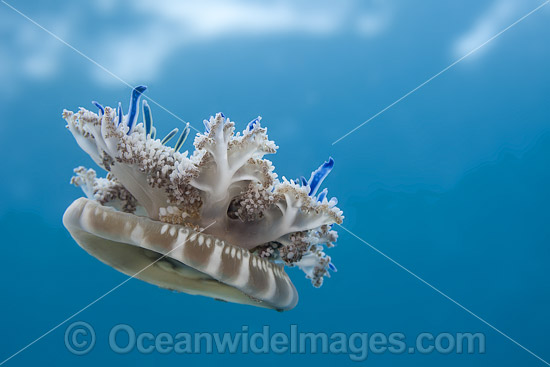 Upside-down Jellyfish Photos & Images