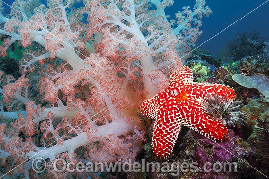 Alconarian Coral, Sea Star and Crinoid Feather Star reef scene. Photo was taken off Rinca Island in Komodo National Park, Indonesia. Photo - David Fleetham