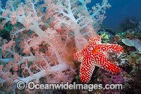 Soft Coral and Sea Star