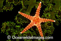 Spiny Sea Star on Green Coral Photo - David Fleetham