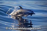 Pantropical Spotted Dolphin Photo - David Fleetham