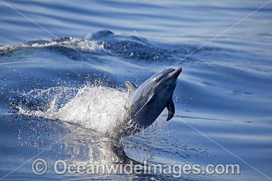 Pantropical Spotted Dolphin (Stenella attenuata). Also known as Pacific Spotted Dolphin. Found in tropical and temperate seas of the world. Photo taken Hawaii, USA
