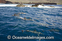 Spinner Dolphins Hawaii