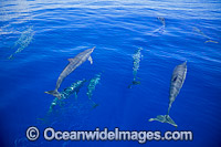Spinner Dolphins Micronesia Photo - David Fleetham