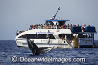 Humpback Whale Watching Boat photo