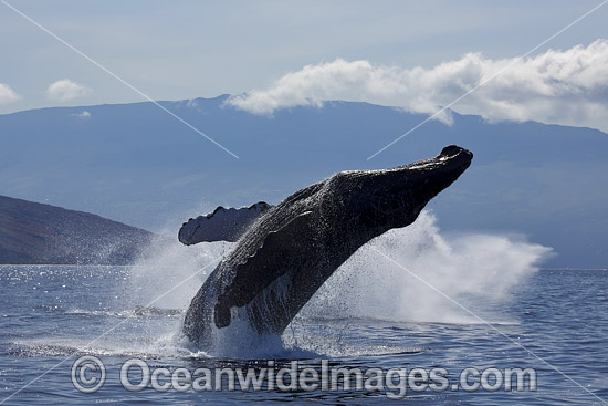 Humpback Whale (Megaptera novaeangliae) breaching on surface. Hawaii, USA. Found throughout the world's oceans in both tropical and polar areas, depending on the season. Classified as Vulnerable on the IUCN Red List. Photo - David Fleetham