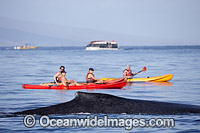 Humpback Whale near kayaks Photo - David Fleetham