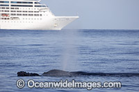 Humpback Whale near Cruise Ship photo