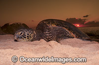 Nesting Green Sea Turtle Photo - David Fleetham