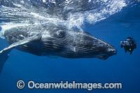 Camera man with Humpback Whale photo