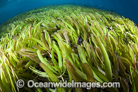 Seagrass Photo - David Fleetham