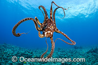 Day Octopus Hawaii Photo - David Fleetham