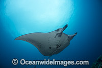 Manta Ray Fiji Photo - David Fleetham