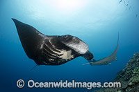 Manta Ray Fiji photo