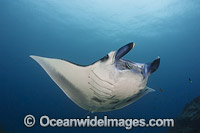 Giant Oceanic Manta Ray Manta birostris photo