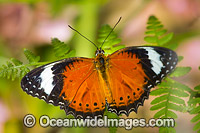Orange Lacewing Butterfly Photo - Gary Bell