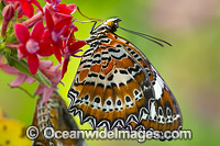 Orange Lacewing Butterfly on flower Photo - Gary Bell