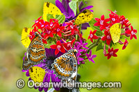 Orange Lacewing Butterfly and Grass-yellow Butterflies Photo - Gary Bell
