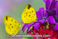 Large Grass-yellow Butterfly Photo - Gary Bell