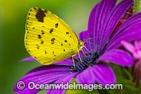 Large Grass-yellow Butterfly on flowers Photo - Gary Bell