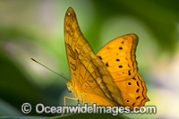 Cruiser Butterfly Vindula arsinoe Photo - Gary Bell